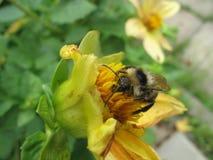 Abejorro en el cierre de la flor para arriba Fotografía de archivo