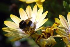 Abejorro en el flor amarillo Fotos de archivo