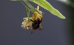 Abejorro en el flor de cal Fotos de archivo libres de regalías