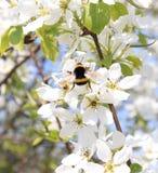 Abejorro en el flor de la manzana en mayo Fotos de archivo libres de regalías