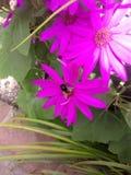 Abejorro en el flor púrpura Foto de archivo