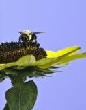 Abejorro en el girasol Fotografía de archivo libre de regalías