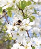 Abejorro en el primer floreciente de la manzana Imágenes de archivo libres de regalías