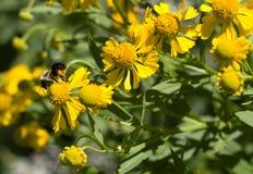 Abejorro en el Wildflower amarillo de Illinois Foto de archivo