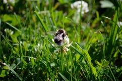 Abejorro en el wildflower blanco en naturaleza del verano Foto de archivo