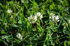 Abejorro en el wildflower blanco en naturaleza del verano Imágenes de archivo libres de regalías