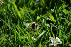 Abejorro en el wildflower blanco en naturaleza del verano Fotos de archivo libres de regalías