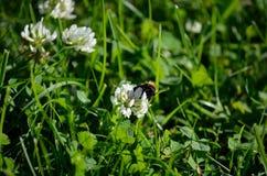 Abejorro en el wildflower blanco en naturaleza del verano Fotografía de archivo