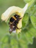 Abejorro en flor amarilla Imagenes de archivo