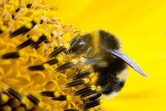 Abejorro en flor en fondo amarillo Girasol Fotografía de archivo