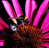 Abejorro en flor rosada Imágenes de archivo libres de regalías