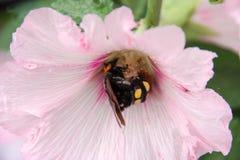 Abejorro en flor rosada que recoge el polen Imagen de archivo libre de regalías