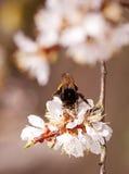 Abejorro en flores de cerezo Foto de archivo