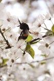 Abejorro en flores de la cereza Imagen de archivo