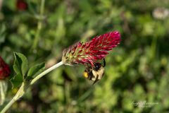 Abejorro en inclinar la floración del trébol carmesí Fotografía de archivo libre de regalías
