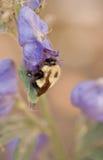 Abejorro en la abertura de una flor Fotos de archivo libres de regalías