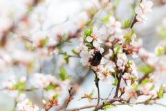 Abejorro en la cereza de la flor de la primavera Imagen de archivo