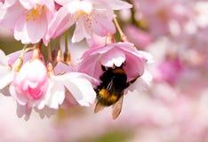 Abejorro en la cereza de la flor de la primavera Fotos de archivo libres de regalías