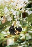 Abejorro en la flor Foto de archivo