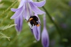 Abejorro en la flor Fotos de archivo libres de regalías