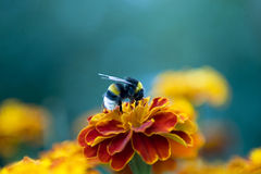 Abejorro en la flor Imagen de archivo libre de regalías