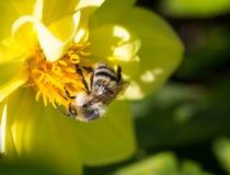Abejorro en la flor. Fotos de archivo