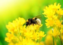 Abejorro en la flor amarilla Imagen de archivo