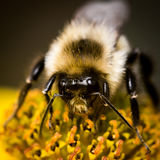 Abejorro en la flor amarilla Foto de archivo