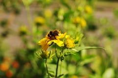 Abejorro en la flor amarilla Fotos de archivo
