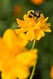 Abejorro en la flor amarilla Imagenes de archivo