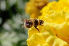 Abejorro en la flor amarilla Foto de archivo libre de regalías