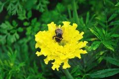 Abejorro en la flor amarilla de la maravilla en día de verano Foco selectivo en el abejorro Fotografía de archivo