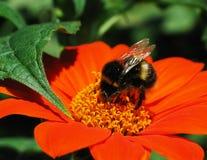 Abejorro en la flor anaranjada Imágenes de archivo libres de regalías