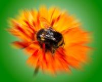 Abejorro en la flor anaranjada con la falta de definición radial Imagenes de archivo