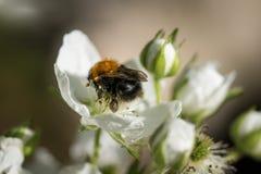 Abejorro en la flor blanca de la zarzamora Fotografía de archivo libre de regalías