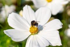 Abejorro en la flor blanca en el verano naturaleza, flora Imagen de archivo libre de regalías