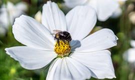 Abejorro en la flor blanca en el verano naturaleza, flora Fotos de archivo