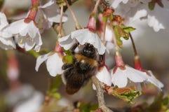 Abejorro en la flor de cerezo Fotos de archivo libres de regalías
