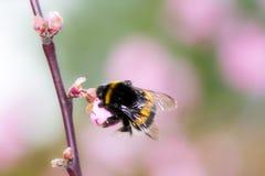 Abejorro en la flor de cerezo rosada Foto de archivo libre de regalías