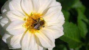 Abejorro en la flor de la dalia almacen de video