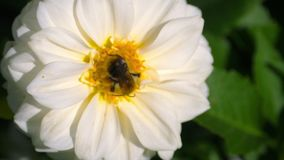 Abejorro en la flor de la dalia metrajes