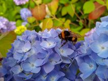 Abejorro en la flor de la hortensia de la lila Imagen de archivo libre de regalías