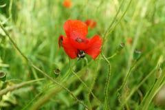 Abejorro en la flor de la amapola Imagen de archivo