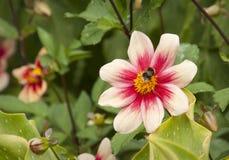 Abejorro en la flor de la dalia Fotografía de archivo