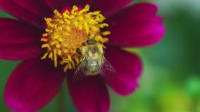 Abejorro en la flor de la dalia almacen de metraje de vídeo