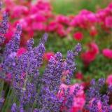 Abejorro en la flor de la lavanda Foto de archivo
