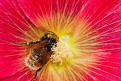 Abejorro en la flor de la malvarrosa foto de archivo libre de regalías