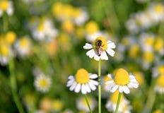 Abejorro en la flor de la margarita blanca en el jardín Abeja que poliniza a Imagen de archivo libre de regalías