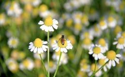 Abejorro en la flor de la margarita blanca en el jardín Abeja que poliniza a Fotografía de archivo libre de regalías