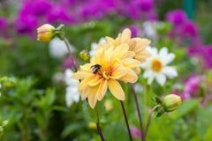 Abejorro en la flor decorativa amarilla hermosa Fotografía de archivo libre de regalías